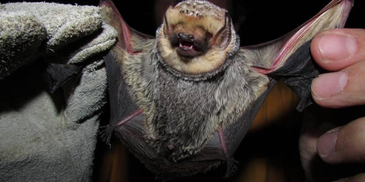 Las Chinchillas es la primera área protegida de murciélagos de Chile, reconocida internacionalmente