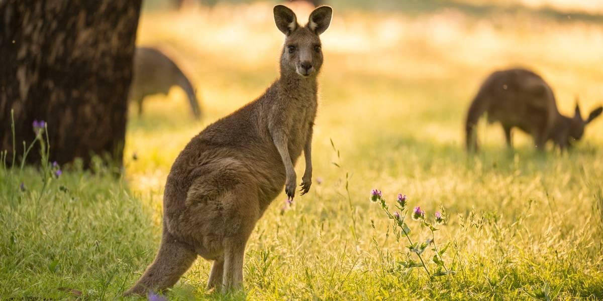 """Canguros se ponen tan """"borrachos"""" que deben ser sacrificados: la peligrosa hierba que amenaza a los marsupiales en Australia"""