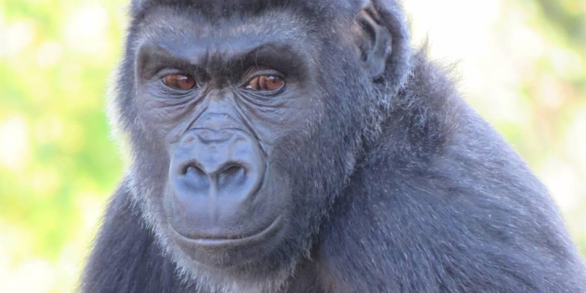 Zoológico descobre que gorila criado por quase 7 anos como macho é, na verdade, fêmea
