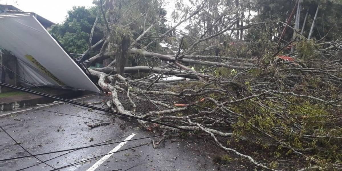 Cae árbol de gran tamaño, derriba varios postes y complica tránsito en San Cristóbal
