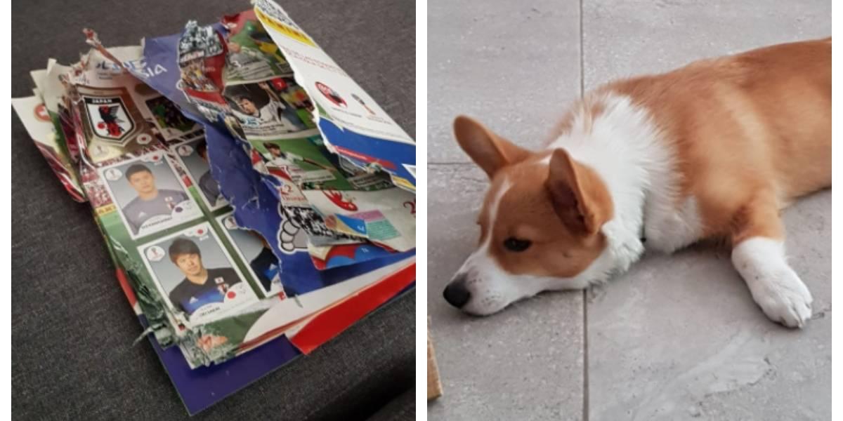 """Le faltaban menos de 30 láminas para completar el álbum del mundial cuando ocurrió la """"tragedia"""": su perro se lo """"comió"""""""