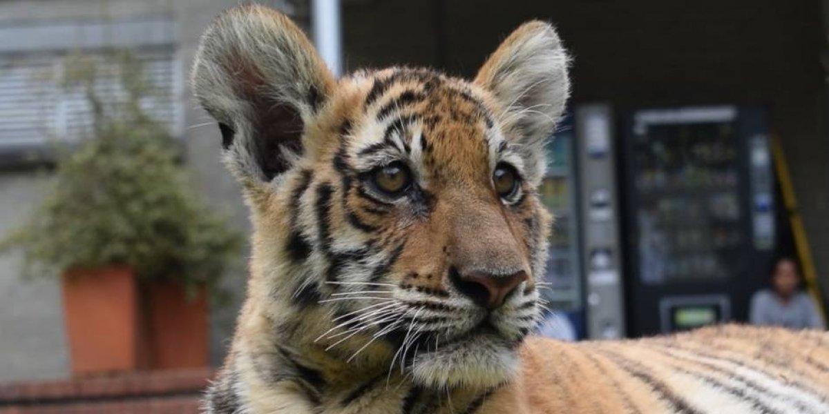 La razón por la que una tigresa bebé de la Hacienda Nápoles debió ser atendida en Medellín