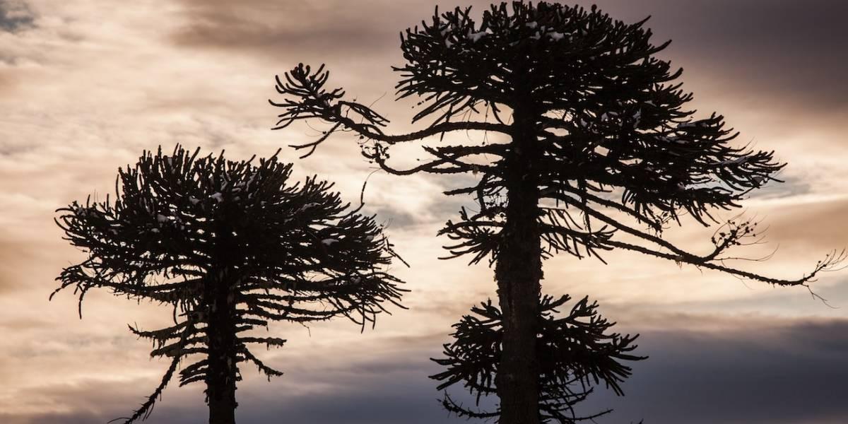 Cambio climático la ha diezmado: empresas públicas y privadas se unen en pro de la preservación de la araucaria