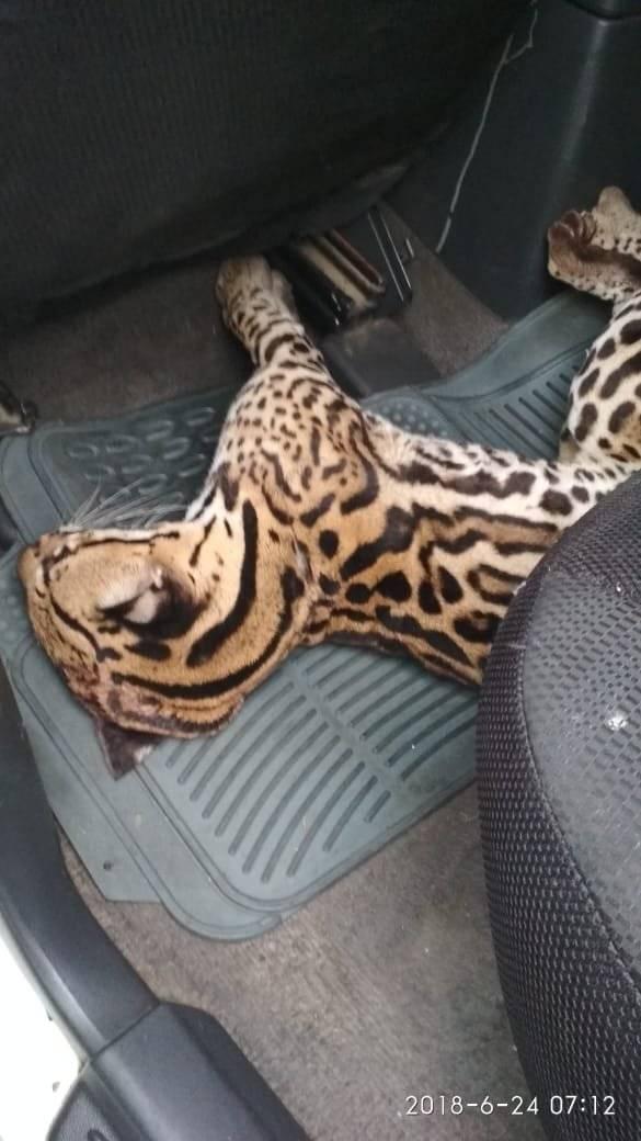 Rescatan a un tigrillo hallado herido en Durán Cortesía ECU911