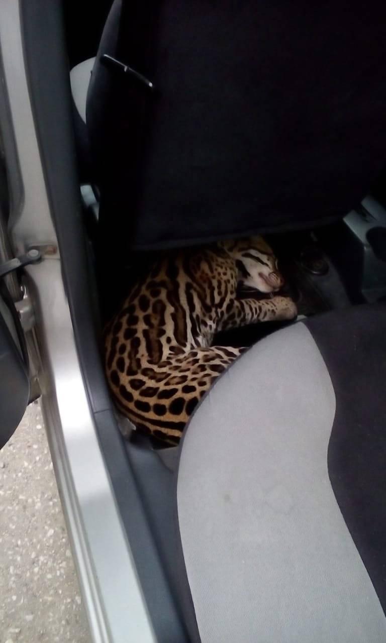 Rescatan a un tigrillo hallado herido en Durán Cortesía ECU 911