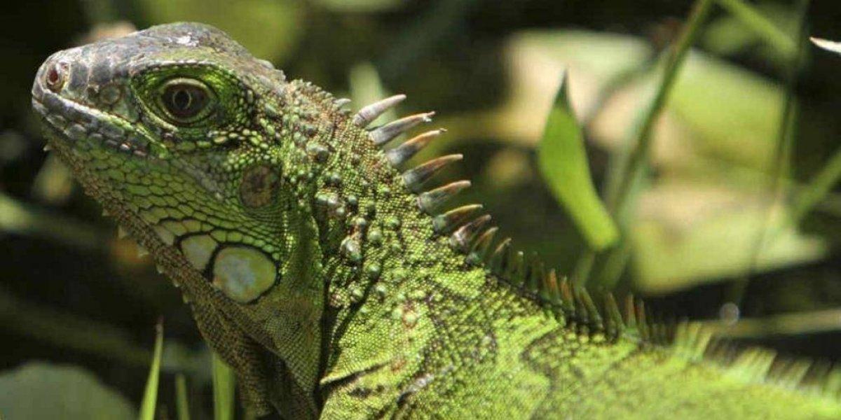 Medio Ambiente pide no comprar Iguana Verde comercializada como mascota