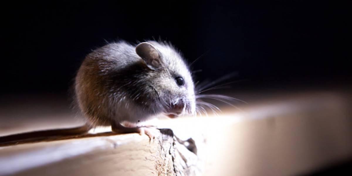 Cajero automático no entregaba dinero, usuarios reclamaron a banco y al abrirlo hallaron lo inesperado: ratones se comieron $11 millones en billetes