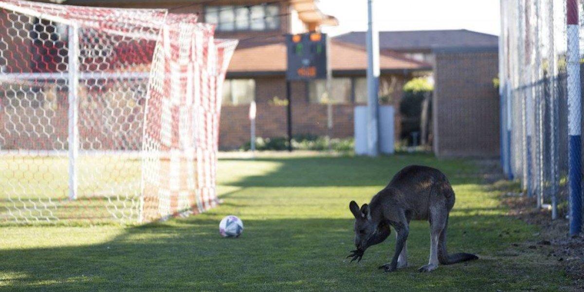Le copió a los perros chilenos: canguro se contagia de la fiebre mundialista e invade cancha en pleno partido de fútbol en Australia