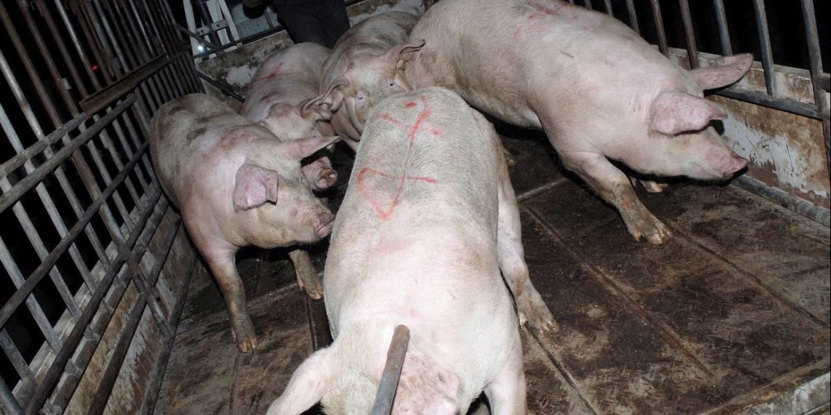 Horrorosos hallazgos en un matadero de cerdos clandestino en Cali