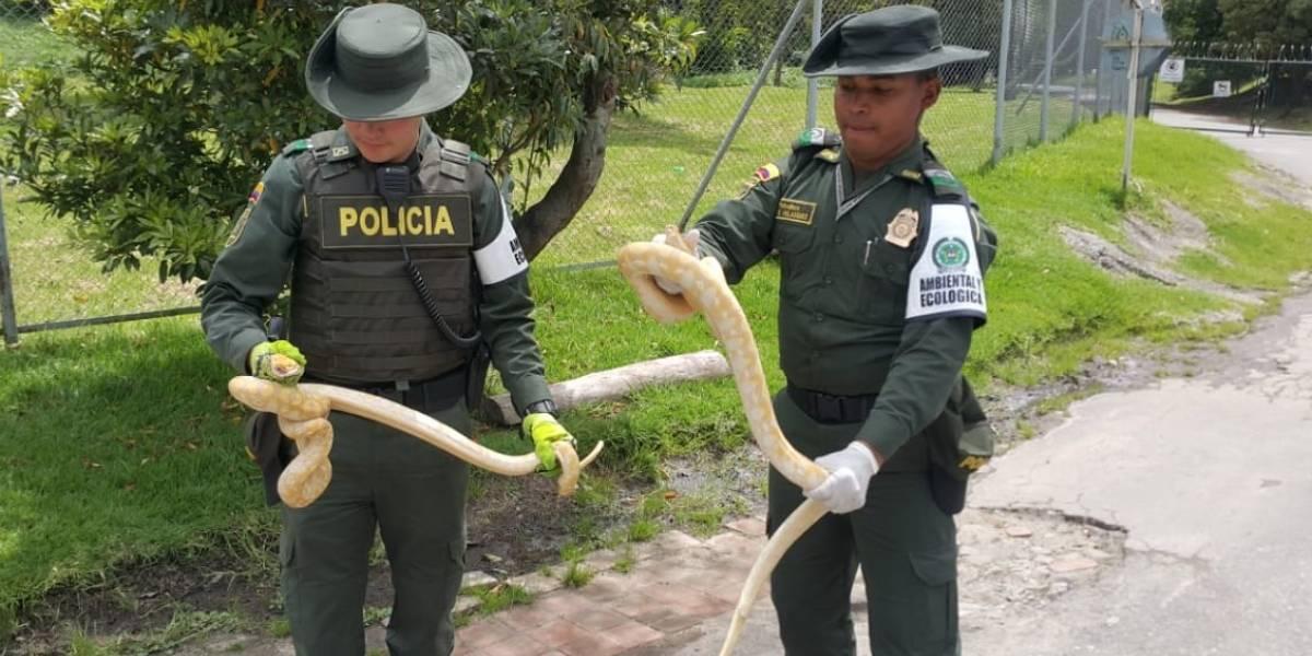 Rescatan en Bogotá cuatro serpientes pitones enviadas por servicio de mensajería
