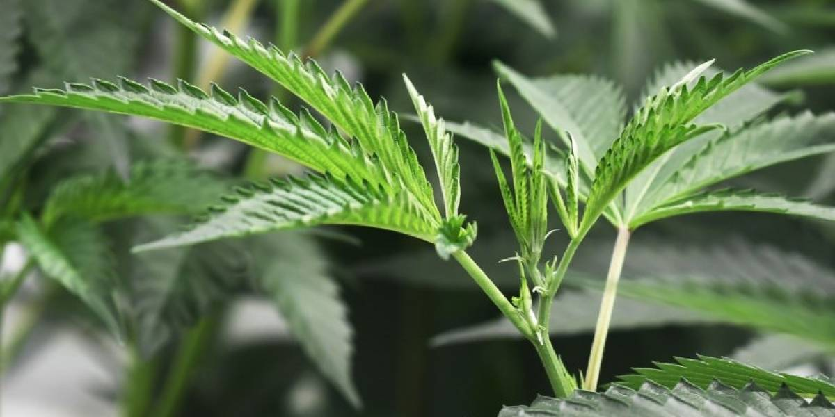Expertos apuntan a que fumar marihuana a diario aumenta riesgo de psicosis