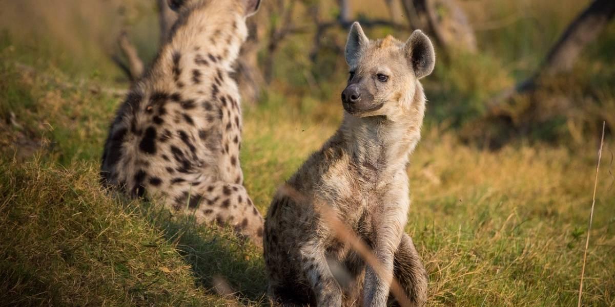 La tensa calma y el coro de hienas