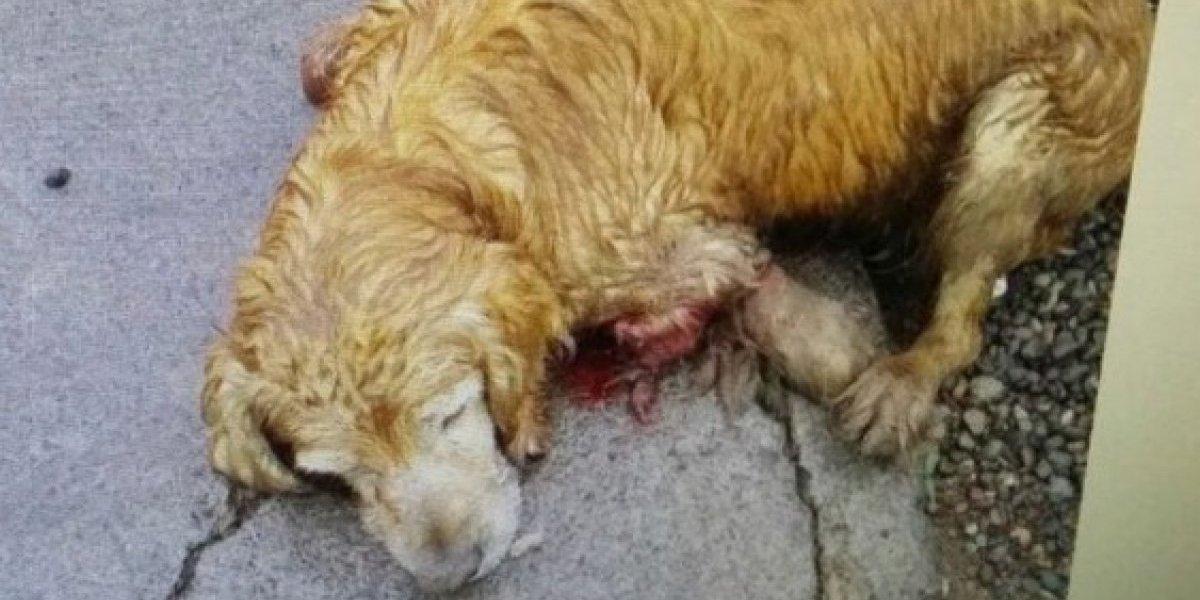 Punkis lo apuñalaron y quebraron sus extremidades: Muerte de perrito en La Florida gatilla marcha contra el maltrato animal este sábado