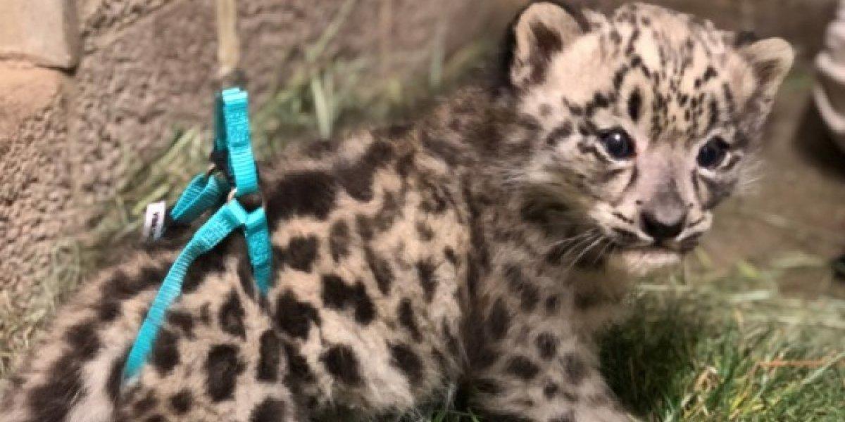 Lo más adorable que verás en tu vida: bebé leopardo de las nieves aprende a caminar tras nacer con extraña condición y derrite los corazones del mundo