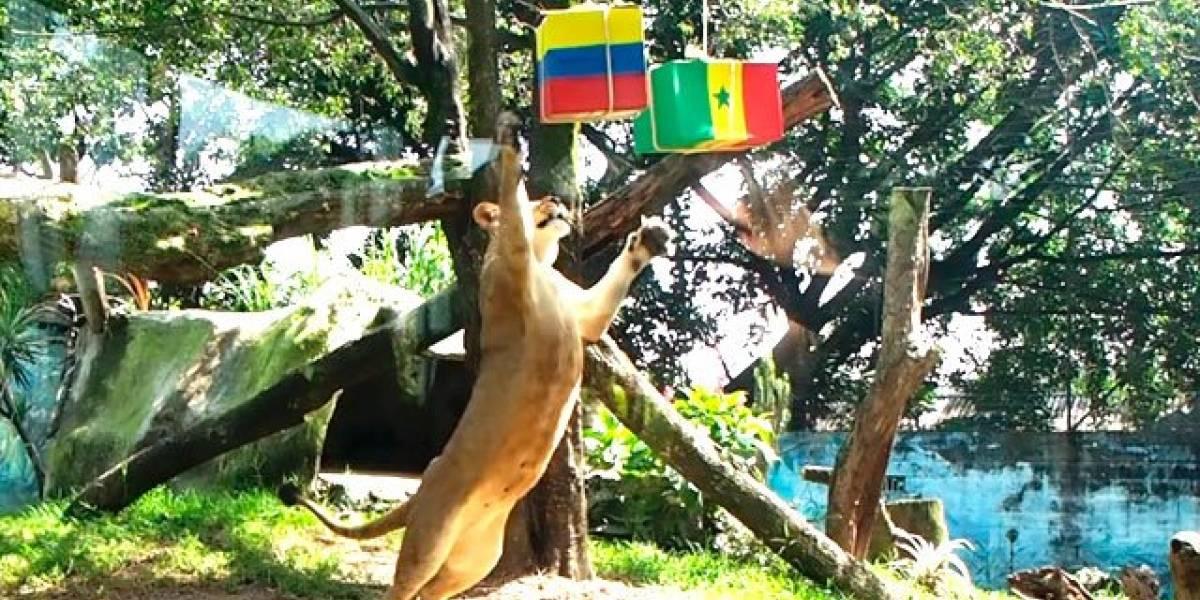Leona que predijo victorias de Colombia y Rusia dio su predicción contra Senegal