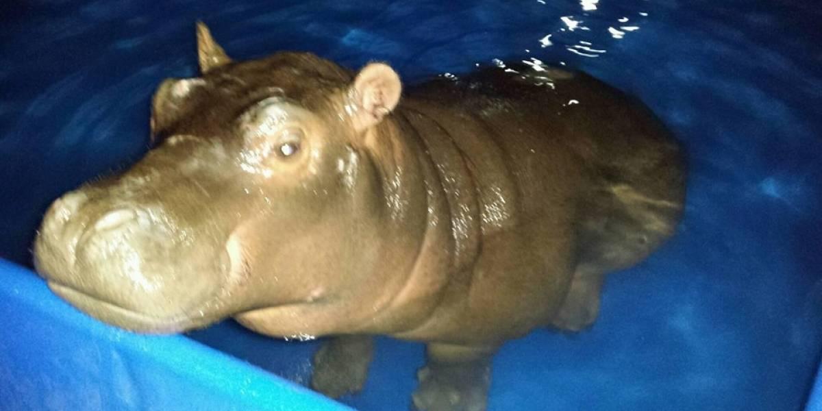 """Un bebé hipopótamo """"guatemalteco"""" se roba las miradas en Nicaragua"""