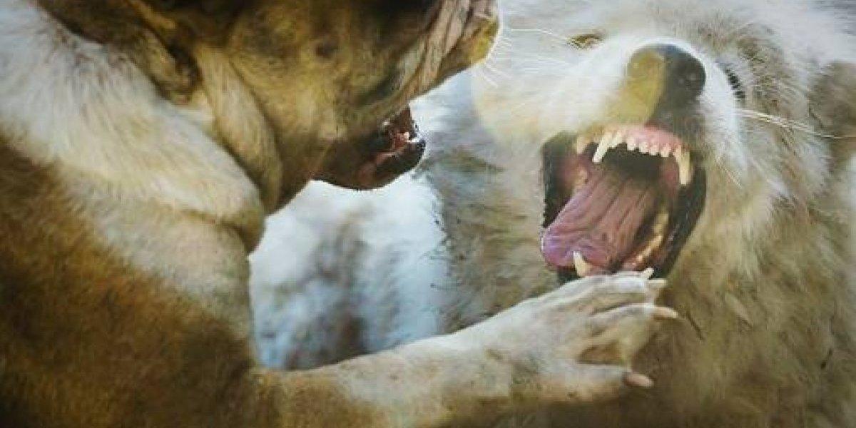Ni el mar los detuvo: ataque de perros asilvestrados a cría de lobo marino en Mejillones pone nuevamente el acento en la necesidad de controlar esta plaga