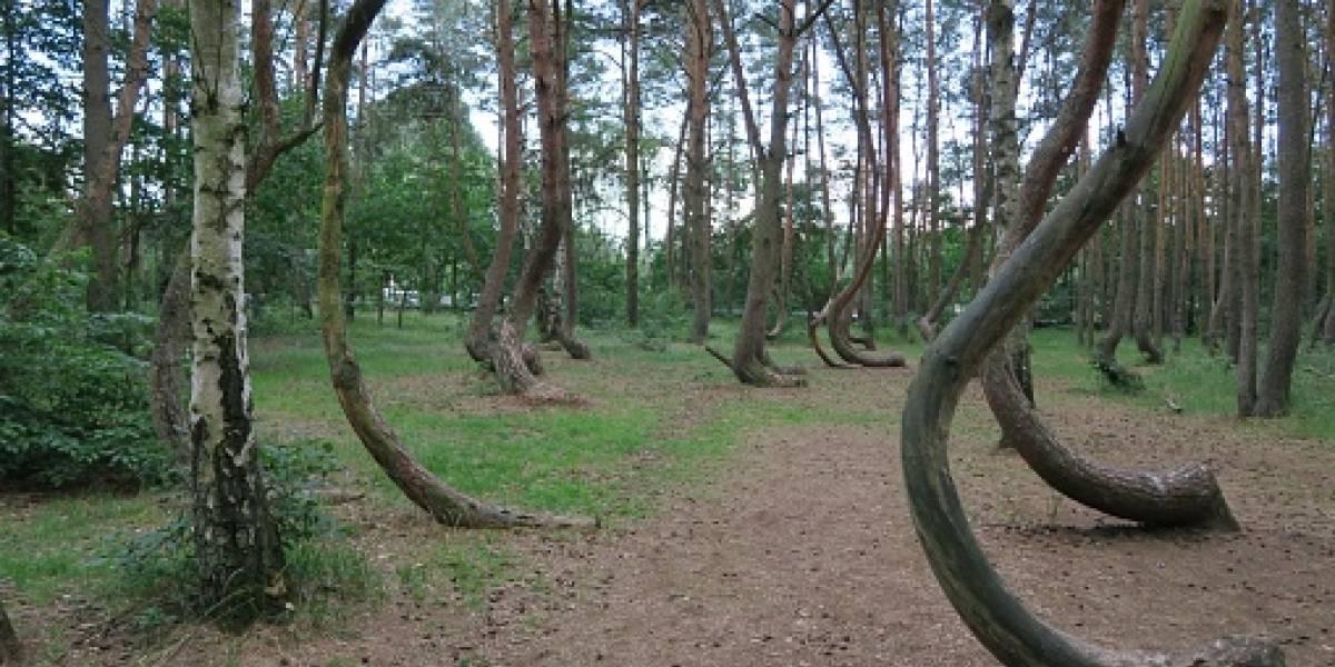 Brujería, campos de energía...: El extraño bosque de Polonia lleno de árboles torcidos que desata un misterio sin resolver