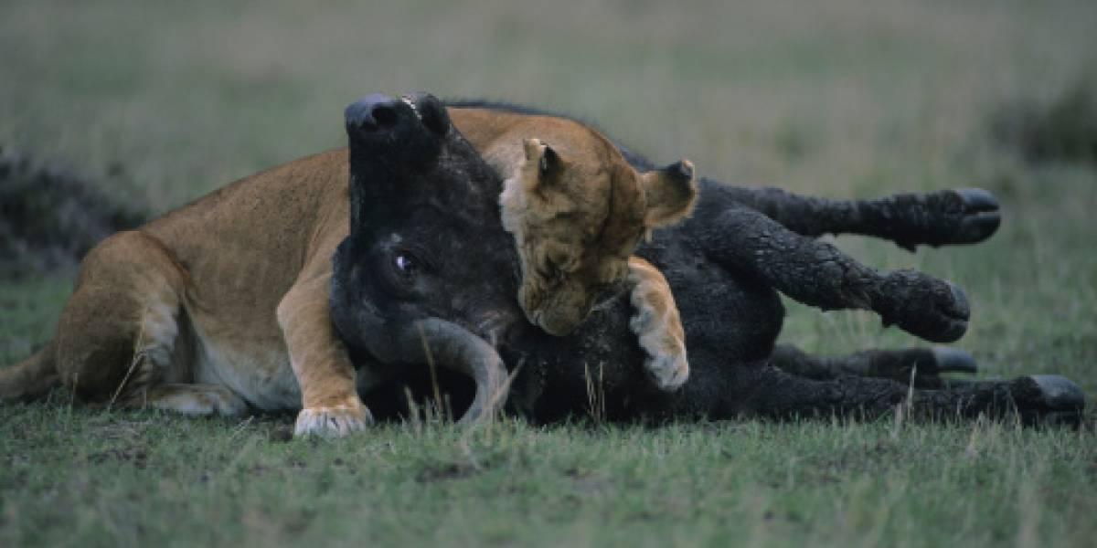 La venganza de la manada: búfalos atacaron sin piedad a león luego que el felino devorara a uno de los suyos
