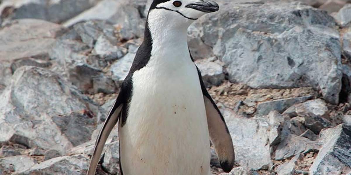Pingüino barbijo de la Antártica chilena estaría en riesgo, según estudio