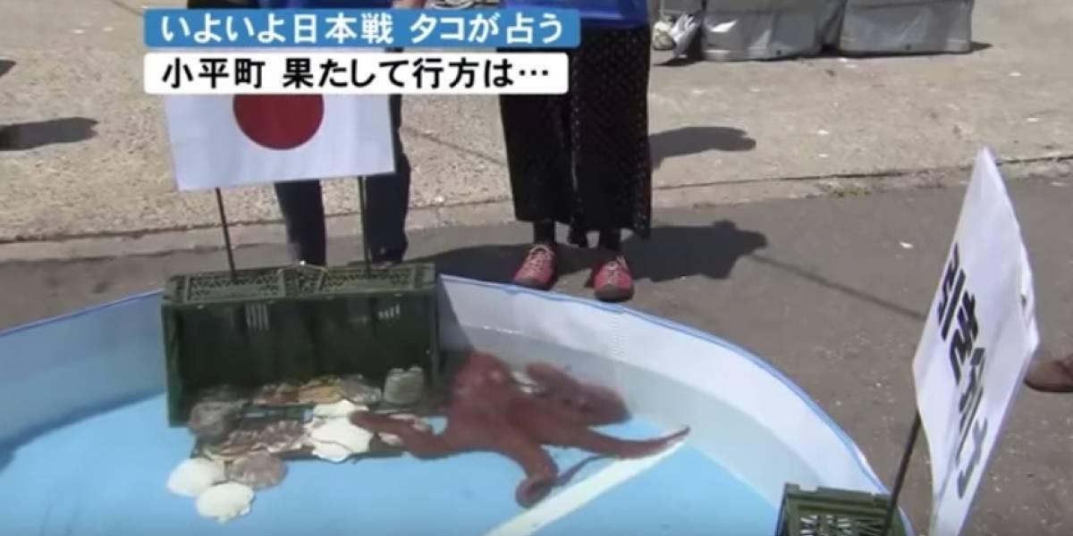 Pulpo predijo partidos de Japón en el Mundial y se lo comieron antes de su resultado en octavos