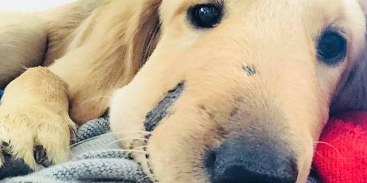 O filhote de cachorro que levou uma picada de cascavel no rosto para salvar sua dona