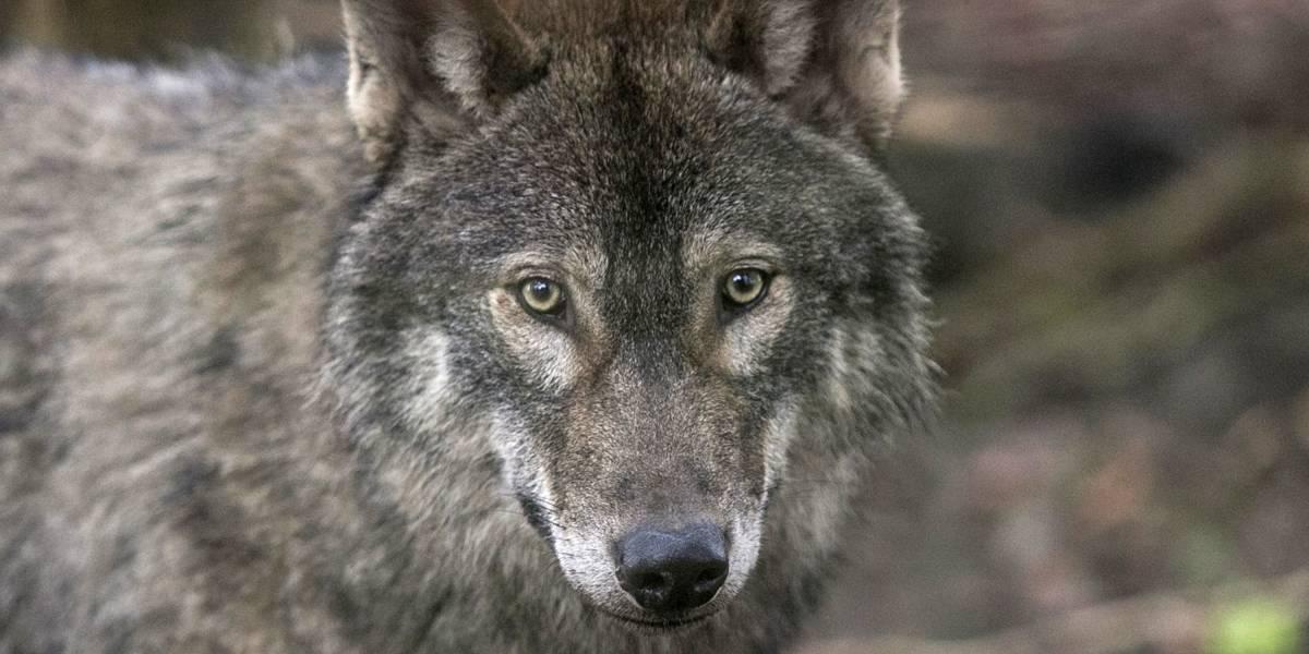 Por primera vez científicos detectan a un lobo saliendo por su propia cuenta de la zona de Exclusión de Chernobyl