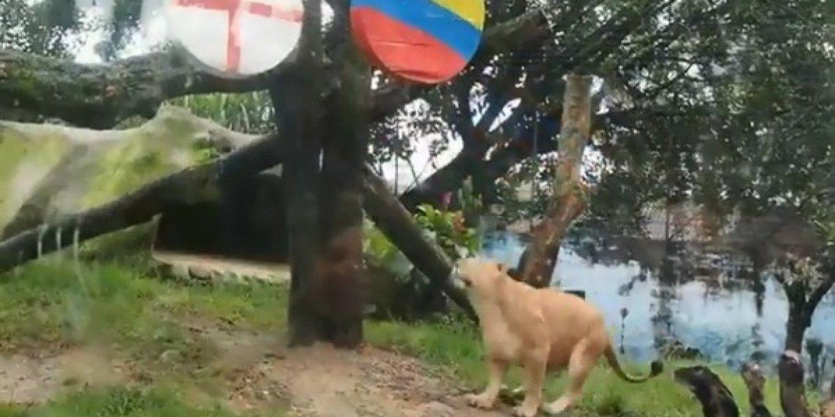 Valentina, la leona del zoológico de Medellín, eligió el ganador del partido Colombia - Inglaterra