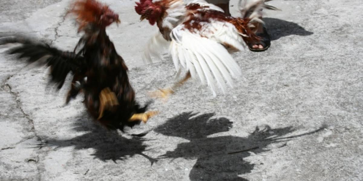 Lo sepultaron jugando una pelea de gallos sobre su ataúd