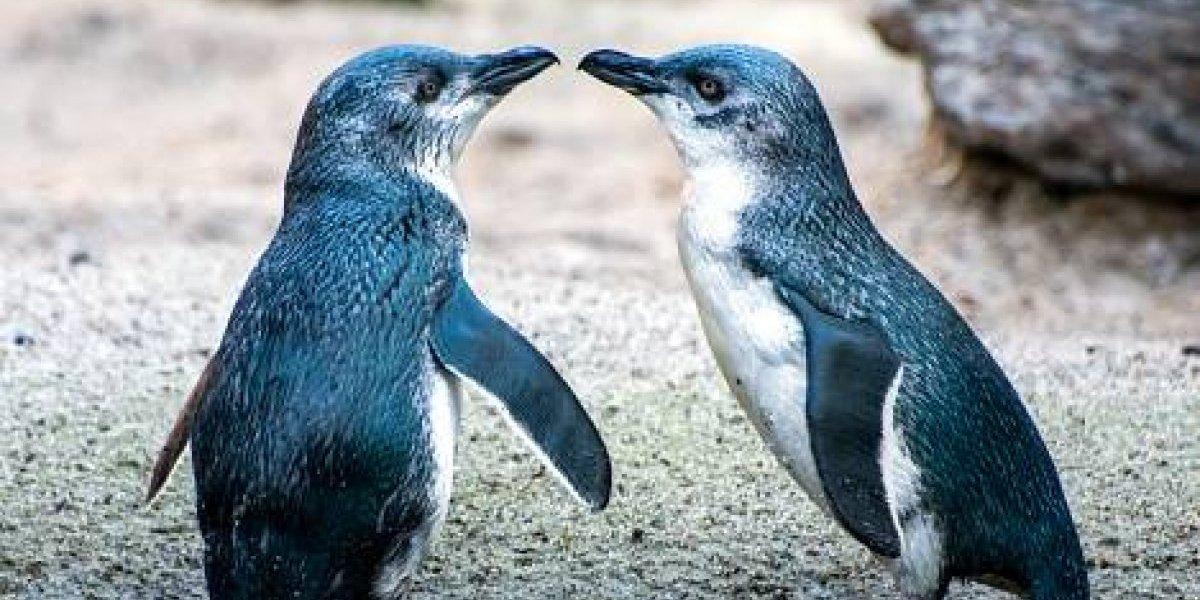 !Awww! Pingüinos dan romántico paseo por la playa tomados de las aletas y se transforman en el viral más adorable de la historia