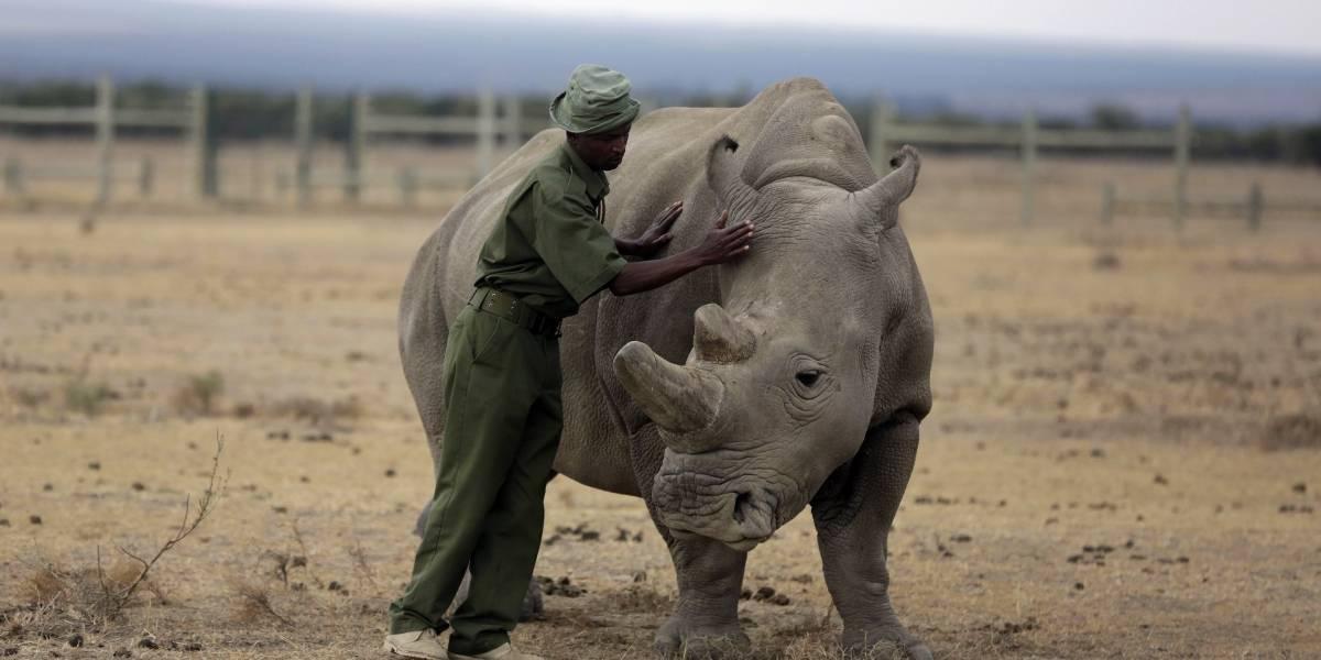 Desarrollan método para salvar al rinoceronte blanco de la extinción