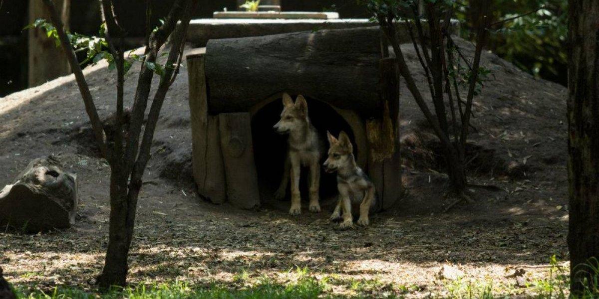 Abren votación para nombrar a los 8 lobos nacidos en Coyoacán
