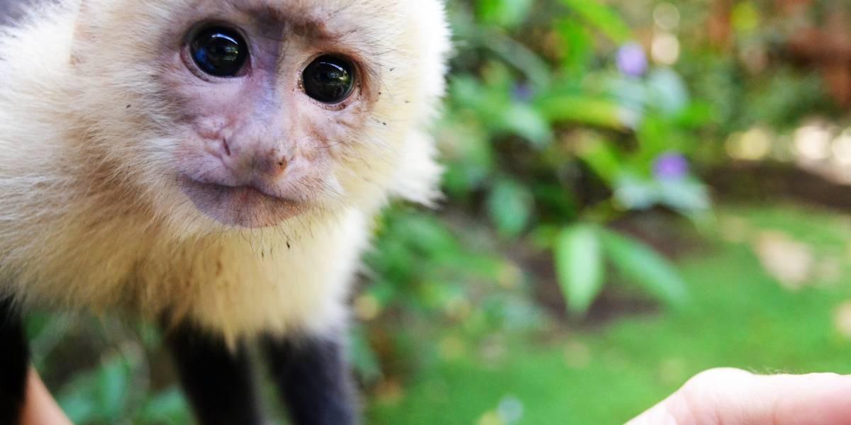 Un grupo de monos de Panamá parecen haber entrado a su propia Edad de Piedra