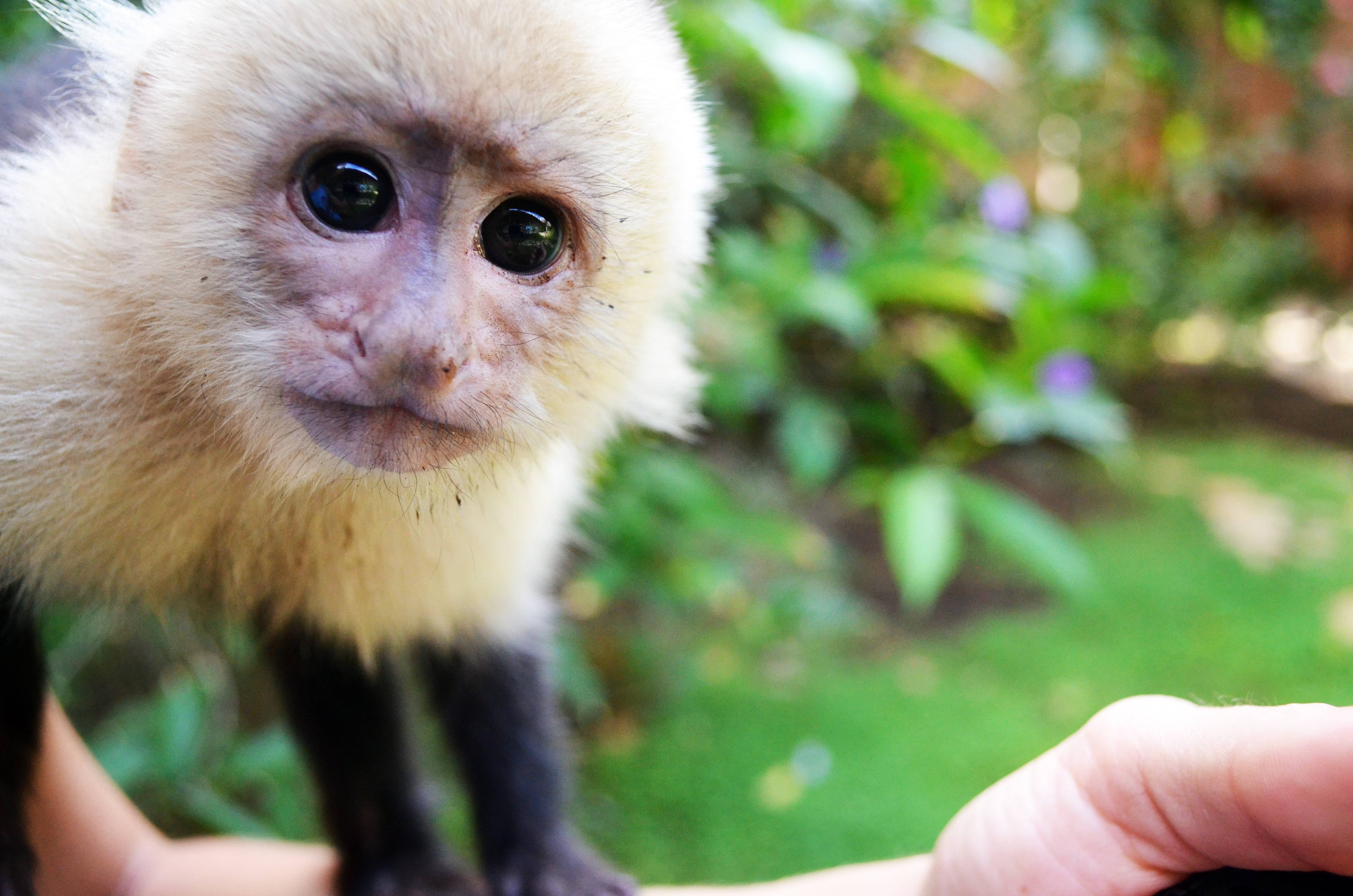 Monos matan a tantas personas en India que autoridades los están esterilizando en masa