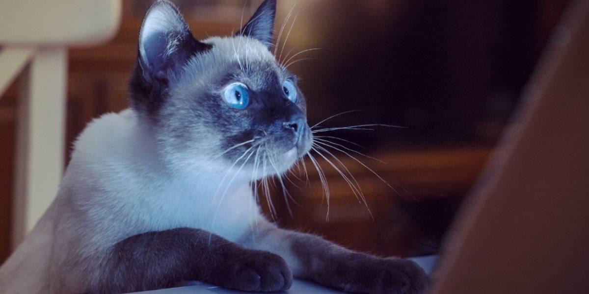 ¿Alérgico a los gatos? Científicos descubren que su alimentación puede evitar alergias