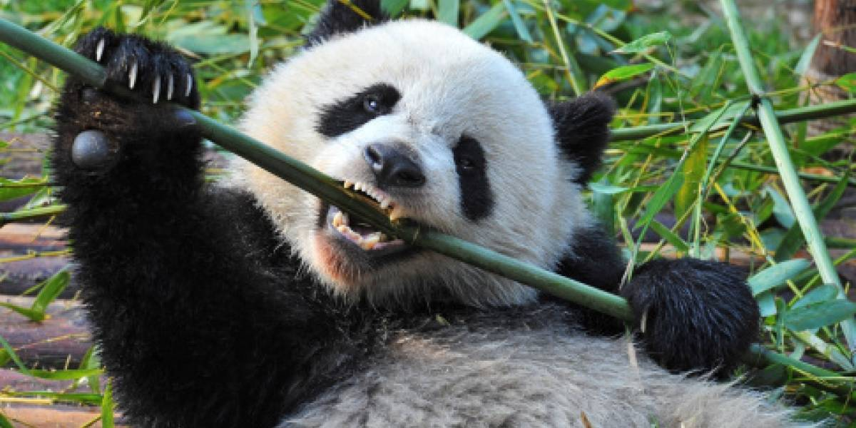 Toda una ternura: esta es la primera foto de un panda albino tomada en una reserva en China