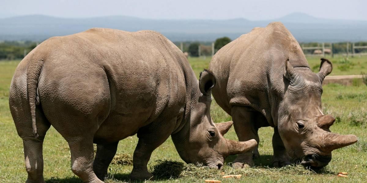 Buenas noticias: científicos logran crear dos embriones de rinoceronte blanco del norte
