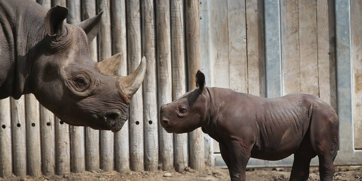 Embriones creados en laboratorio podrían ser la salvación para el rinoceronte blanco del norte