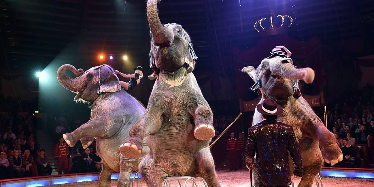 Pánico en circo alemán: pelea entre elefantes provocó que uno de los paquidermos cayera sobre el público