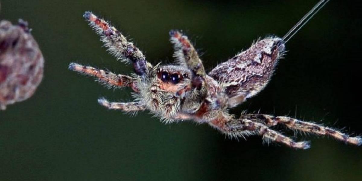 Científicos descubren que las arañas pueden usar corrientes eléctricas para volar miles de kilómetros