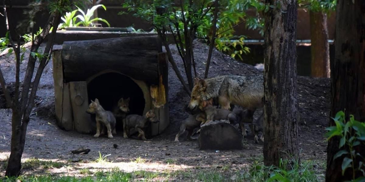 México: Vota por el nombre de los 8 cachorros de lobo gris mexicanos nacidos en CDMX