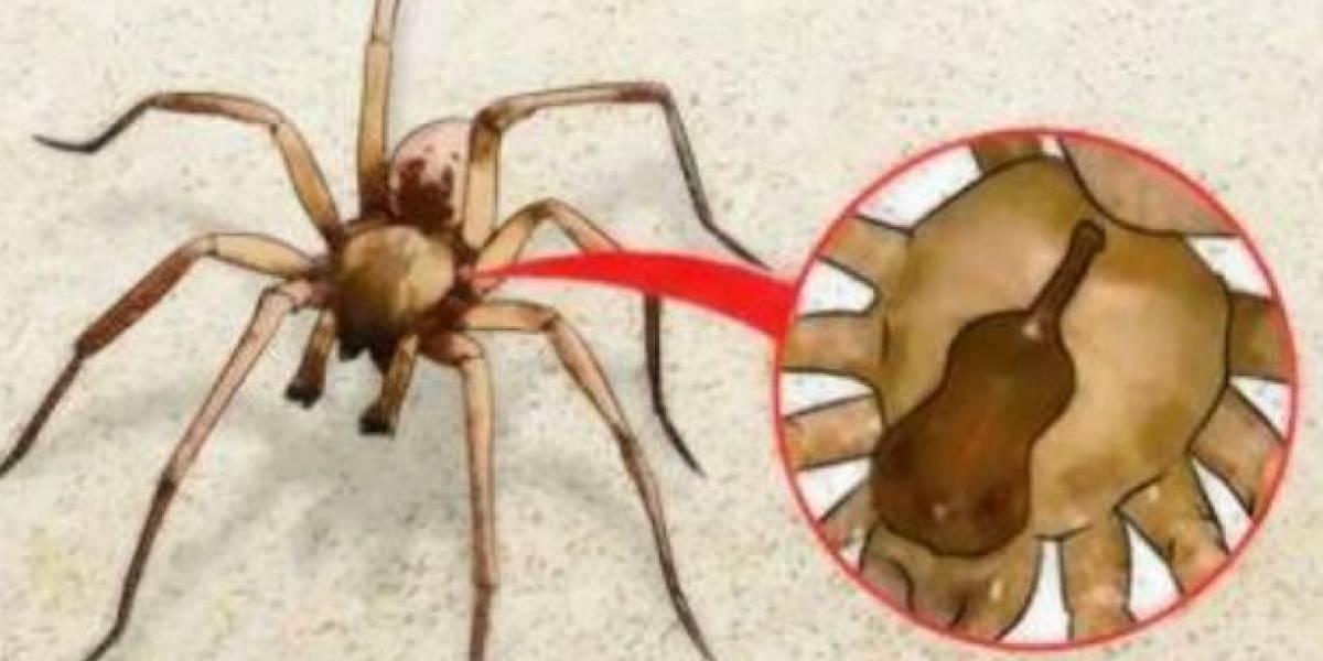 ¡Ojo! Alertan en México por las mordeduras de araña violinista o de rincón