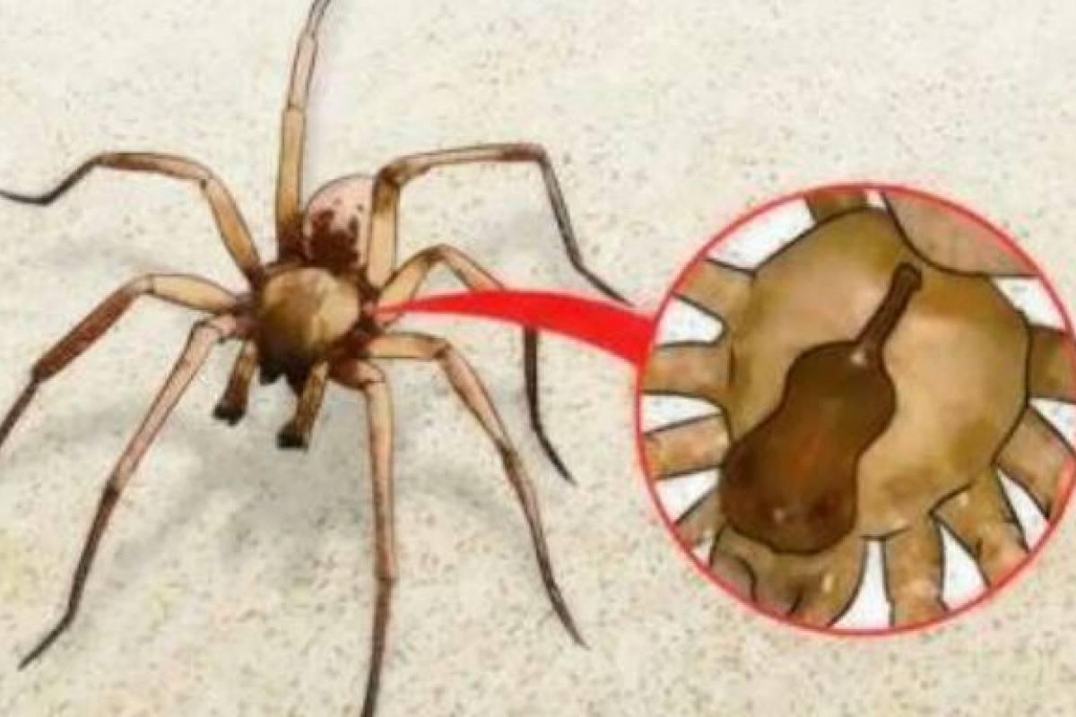 brown recluse spider bites - 728×546