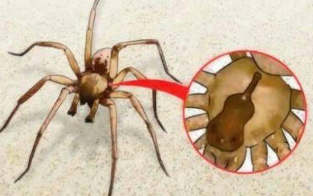 ¡Cuidado! Cómo detectar el piquete de una araña violinista