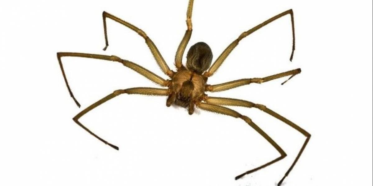 ¡Cuidado! Cómo detectar la mordida de una araña violinista o de rincón