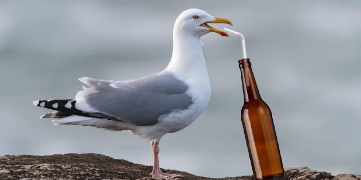Están pasadas a cerveza, caminan erráticamente y vomitan frente a la gente: la invasión de gaviotas borrachas que alerta a Inglaterra