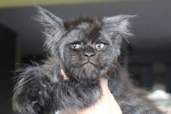 gato cara de humano