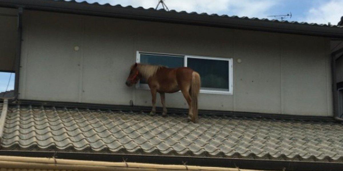 Misterio tras la tormenta: rescatan 'caballo volador' del techo de una casa en Japón