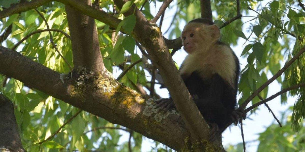 Zoológico de Chapultepec será el hogar del mono capuchino