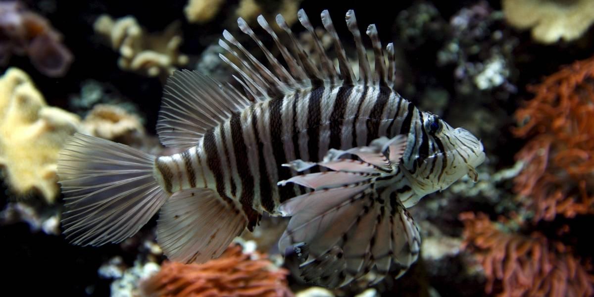 Veneno del pez león podría ser efectivo contra células cancerígenas